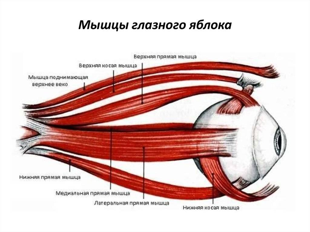 Круговая мышца глаза - анатомическое строение, функции