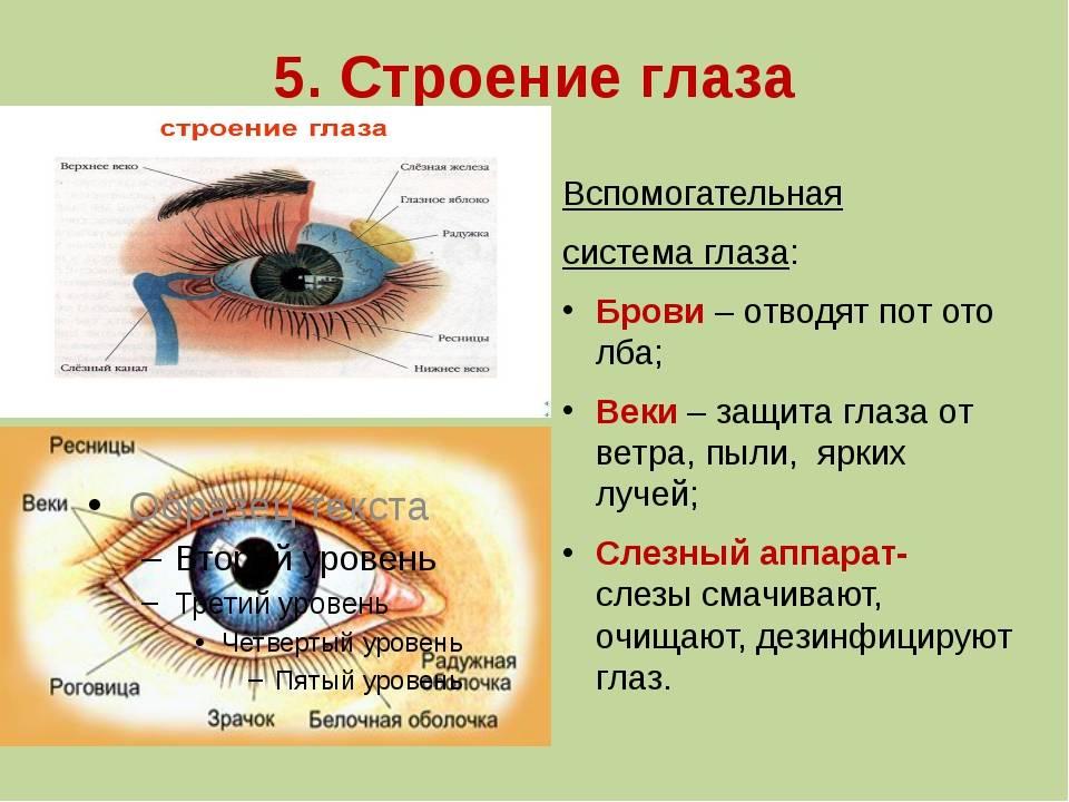 Оболочки глаза: строение, название, функции. строение глаза человека