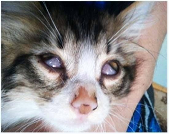 Как понять, что у кошки проблемы с третьим веком?