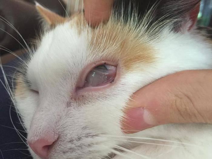 Третье веко у кошки: причины, симптомы и лечение