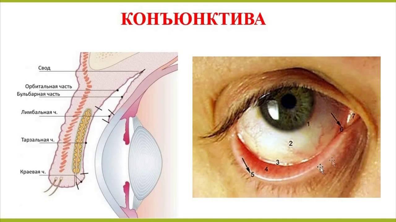 Конъюнктива глаза: строение, функции, заболевания