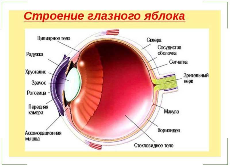 Виды глаз у человека: какие бывают типы, как определить форму, описание