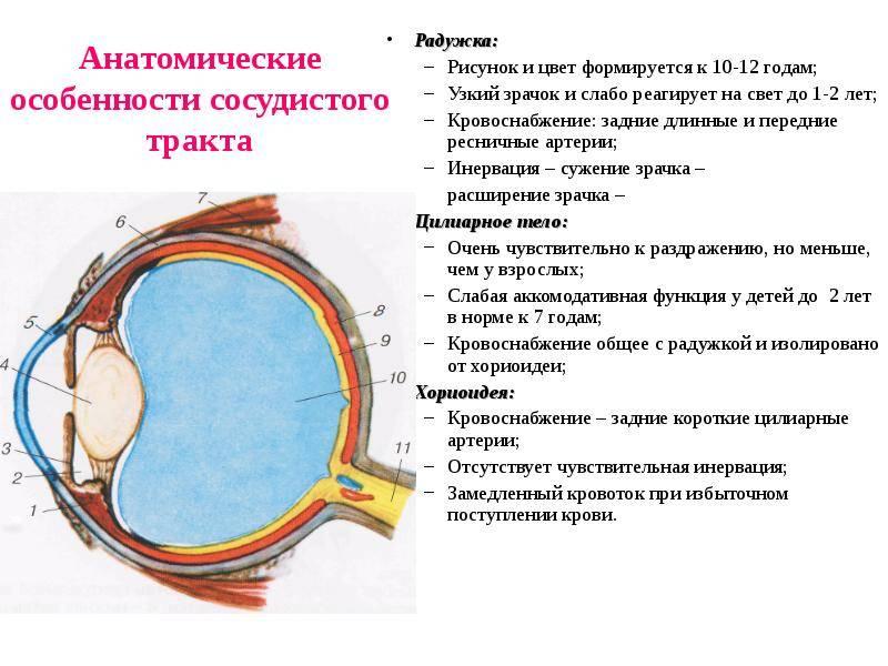 Из чего образована радужка глаза?