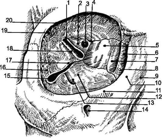 Анатомия глазницы — строение, функции и возможные заболевания