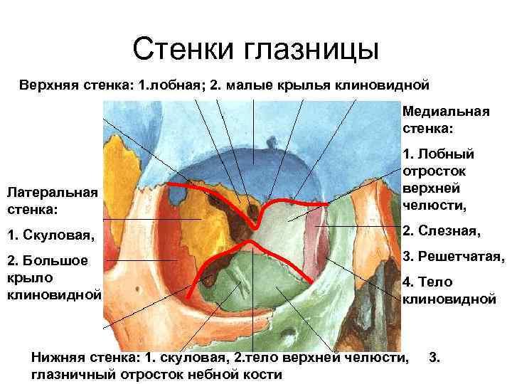 Кости лицевого черепа. глазница, строение ее стенок, отверстия, их назначение.(ii) кости лицевого черепа. глазница