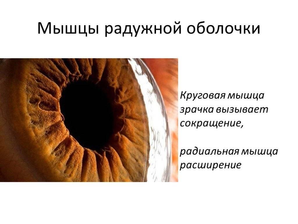 Зрачок глаза: что это такое, какую функцию выполняет, строение, где расположен
