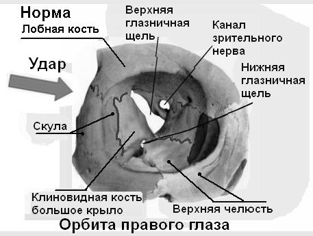 Наружная оболочка глазного яблока, её анатомическое строение и функции.