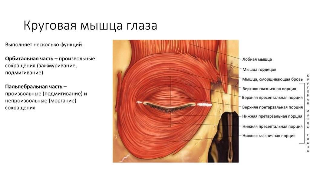 """Круговая мышца глаза - строение и функции, диагностика и заболевания - сайт """"московская офтальмология"""""""