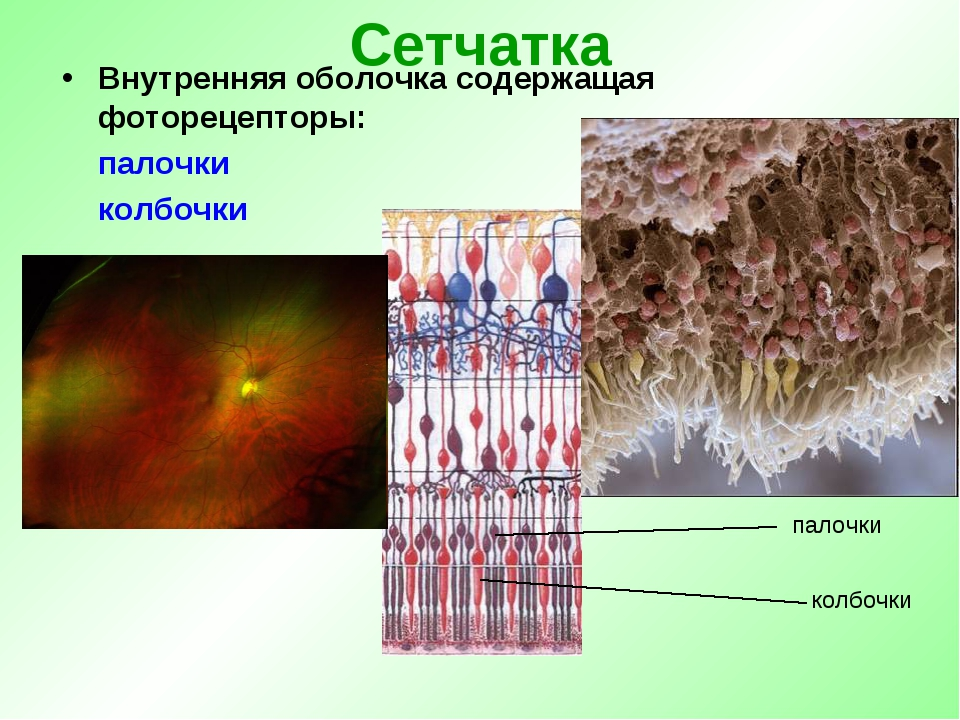 Распределение колбочек и палочек в сетчатке человека — циклопедия