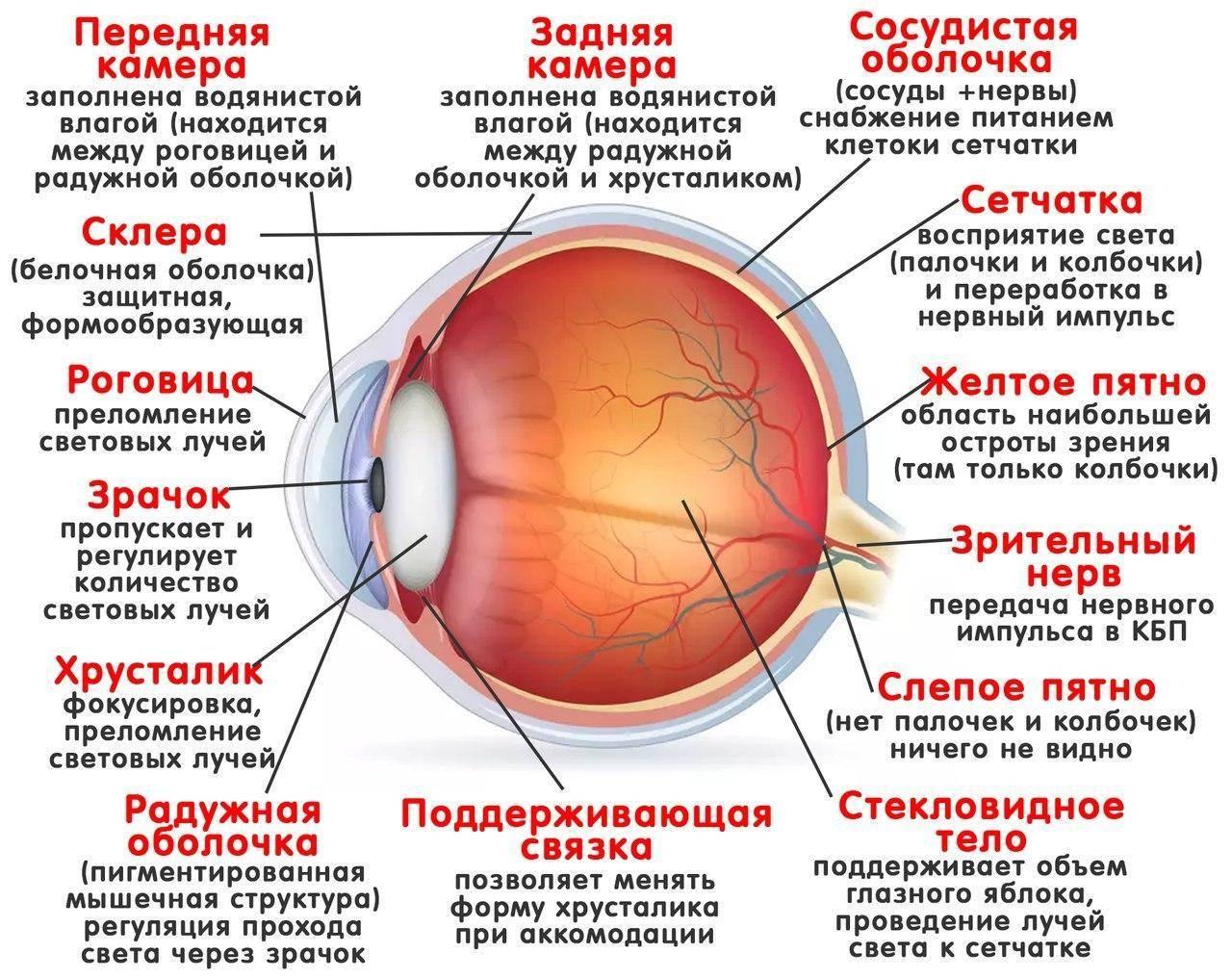 Содержимое глазного яблока: хрусталик, стекловидное тело, внутриглазная жидкость. анатомическое строение и функции