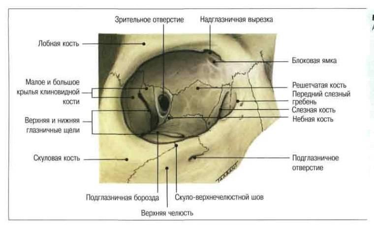 Нормальная анатомия костей черепа человека - семейная клиника опора г. екатеринбург