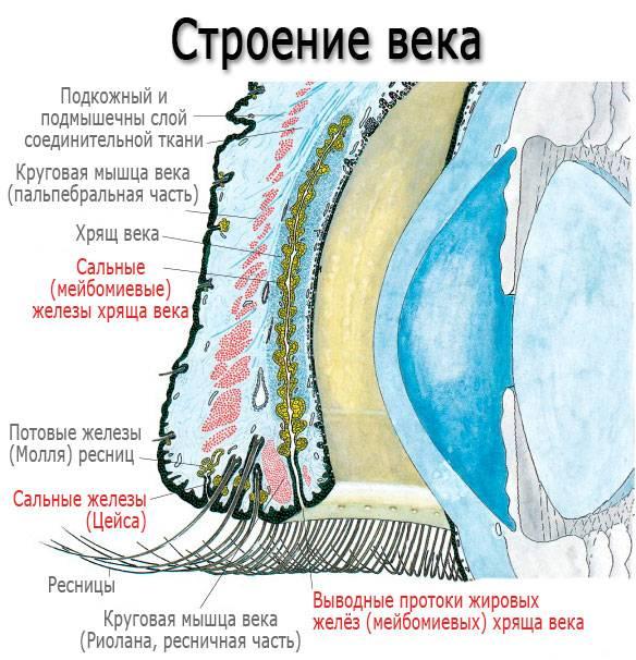 """Глазница: строение, функции, симптомы заболеваний - """"здоровое око"""""""