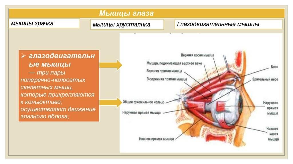 Особенности развития и строение мышц глаза