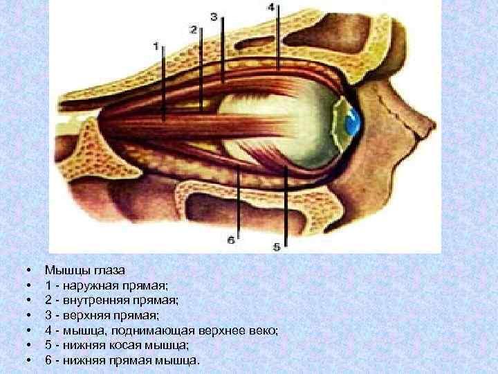 Анатомия мышц лица и шеи: фото с описанием и схемами