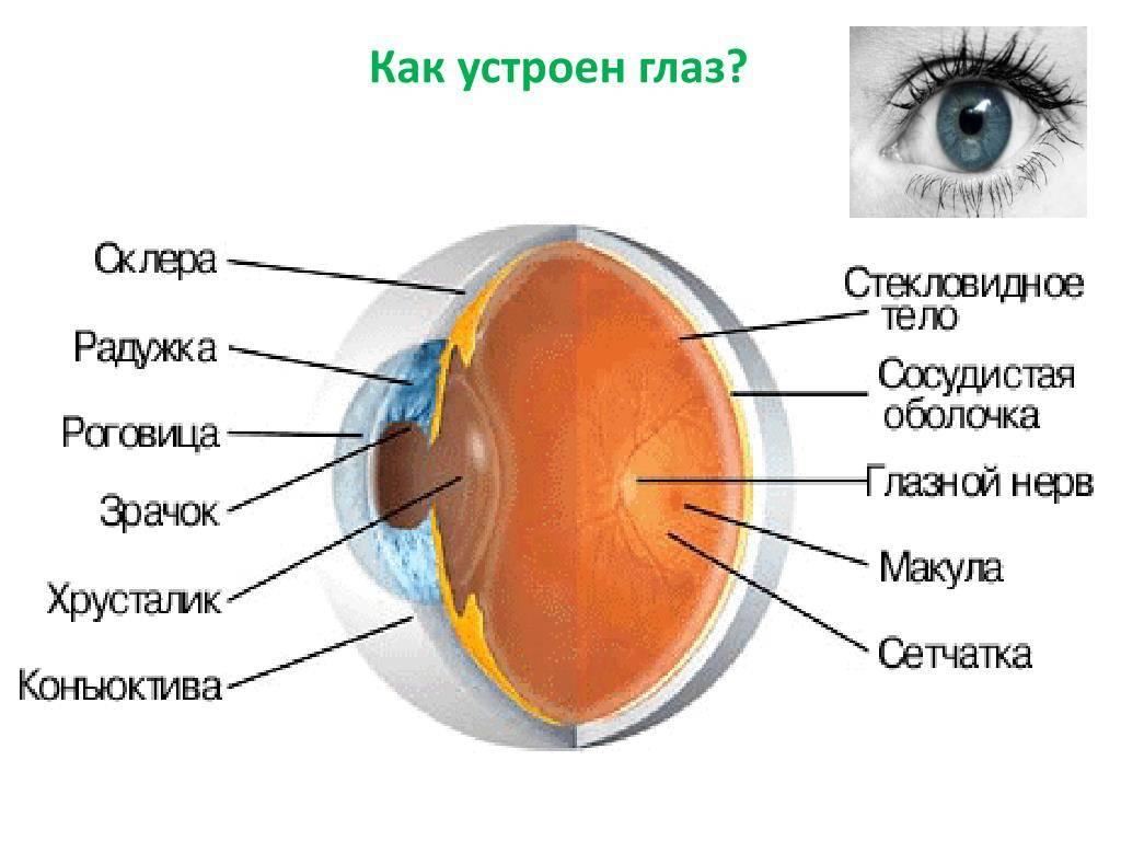 Строение глаза человека: из чего состоит, анатомические оболочки, схема, таблица