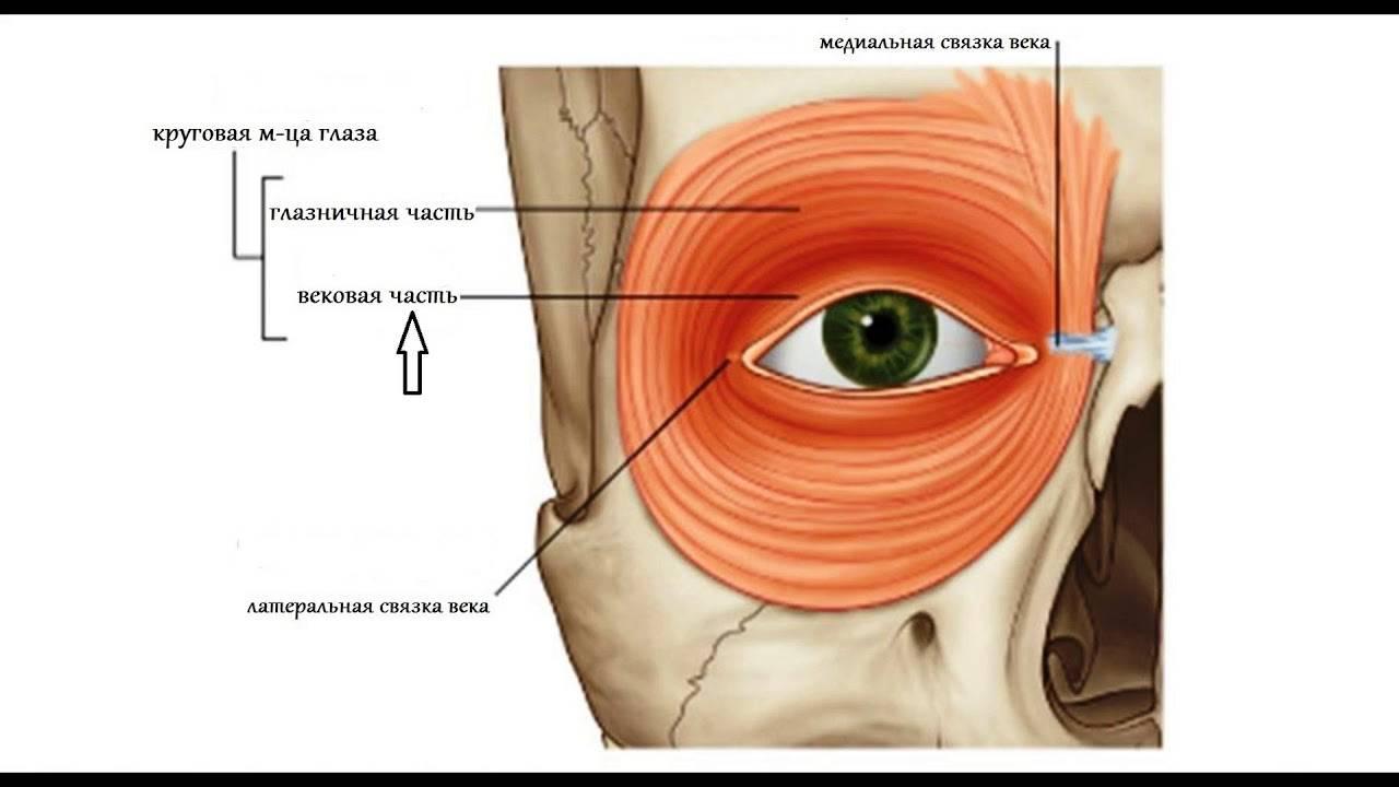 Строение и особенности иннервации глазных мышц