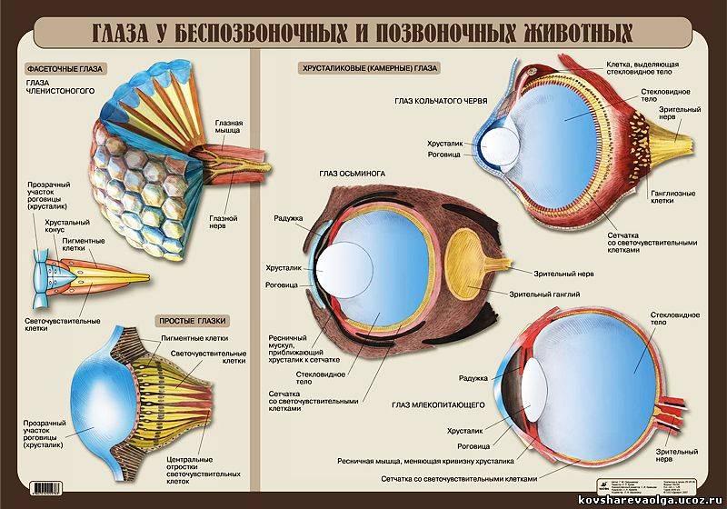 """Хрусталик глаза - строение, функции, заболевания - """"здоровое око"""""""