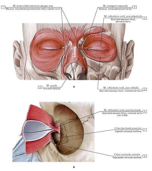 Функция круговой мышцы глаза и круговой мышцы рта