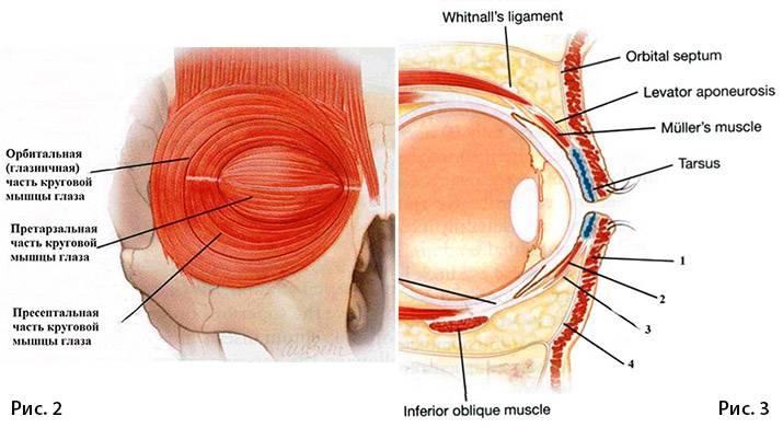 Круговая мышца глаза: функции, иннервация, признаки болезней