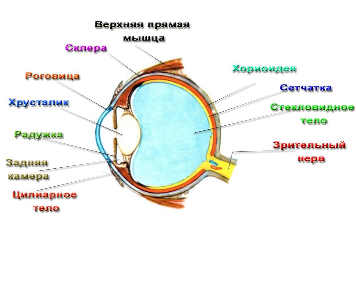 Строение глаза человека. анатомия глаза | картинки и схемы