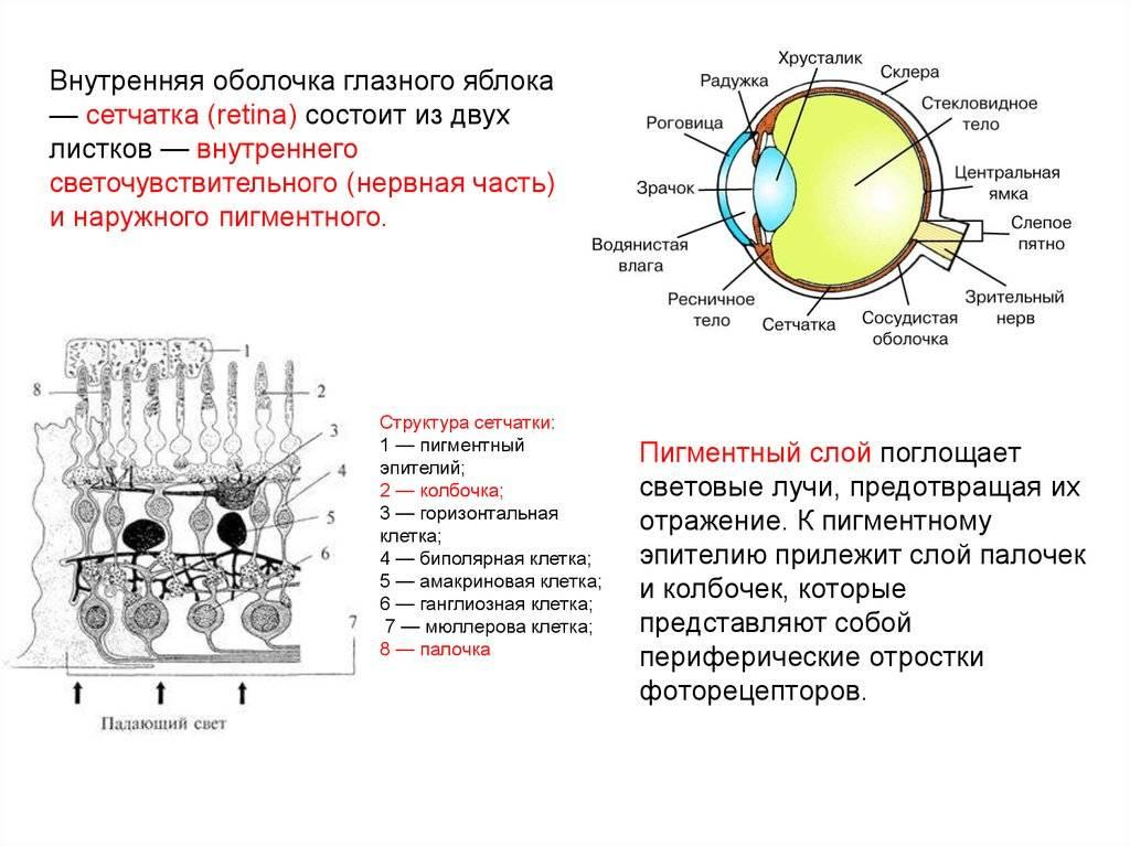 Функции и строение сетчатки глаза.