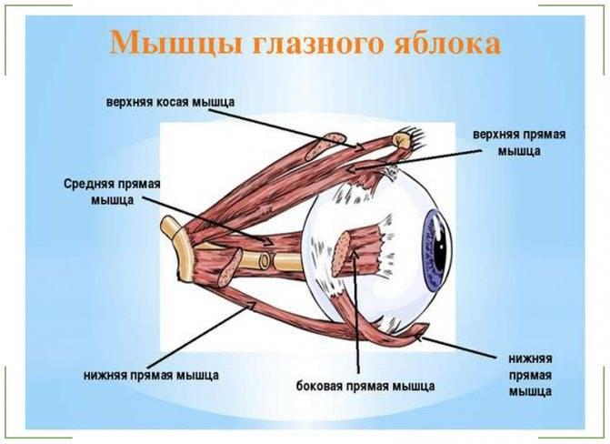Глазные мышцы – строение и основные функции