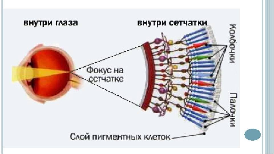 """Палочки и колбочки сетчатки глаза - строение и функции, диагностика и заболевания - сайт """"московская офтальмология"""""""