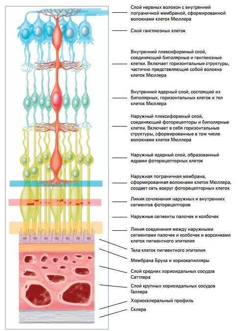 Сетчатка глаза - строение и функции, заболевания