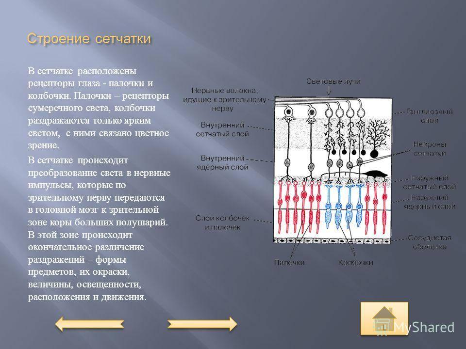 Сетчатка — большая медицинская энциклопедия