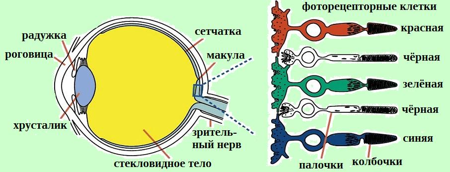 Распределение колбочек и палочек в сетчатке человека — традиция