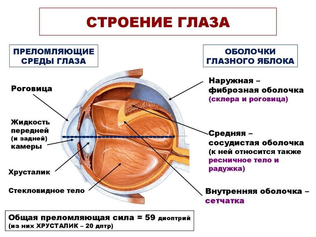 Анатомия глаза. строение глаза и функции его частей