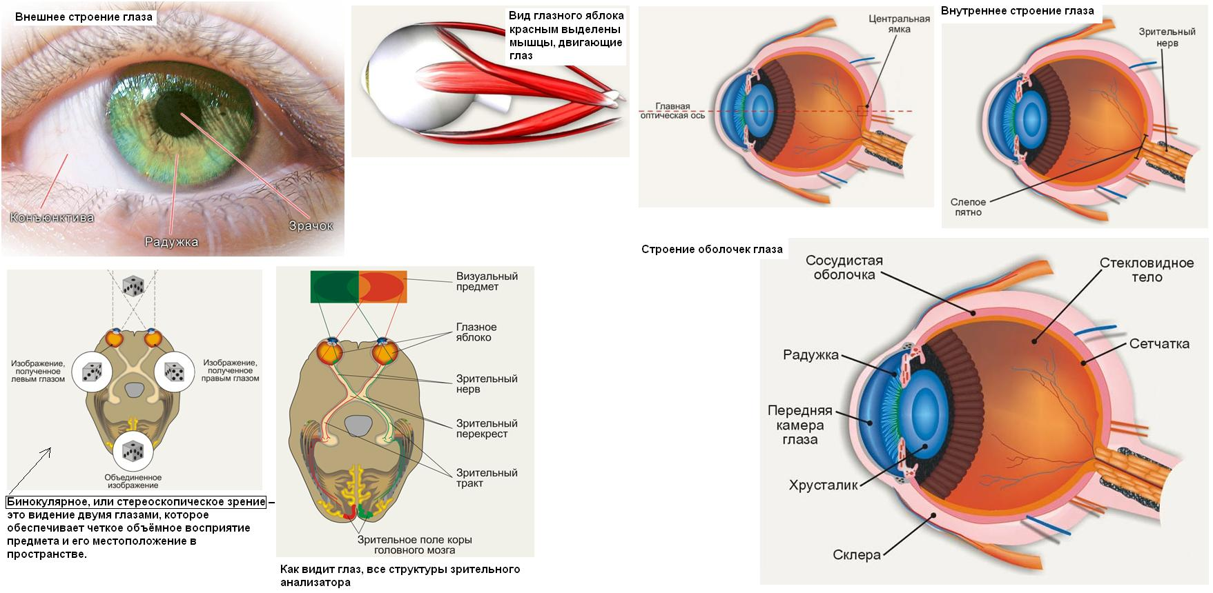 Строение глаза человека - анатомия, рисунки, фото