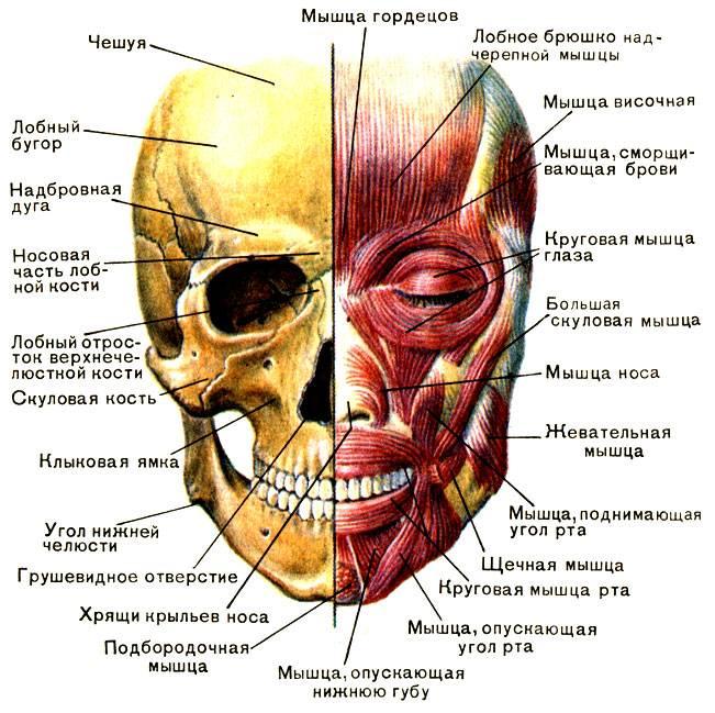 Перелом скулы: лечение лицевой кости и последствия после травмы
