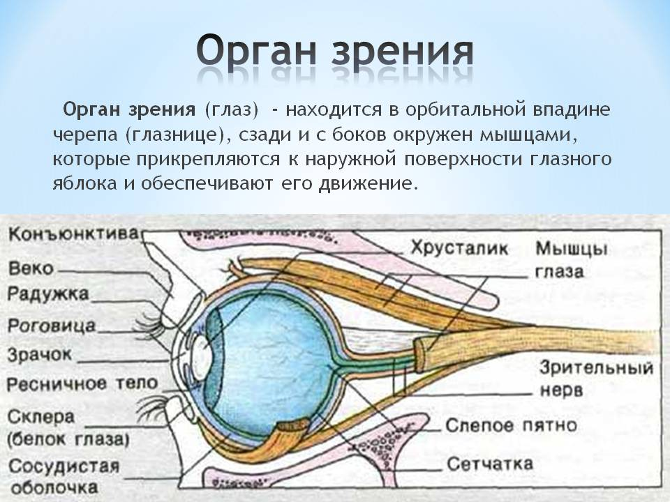 Анатомическое строение и функции верхней и нижней челюсти человека: схема с описанием, размеры