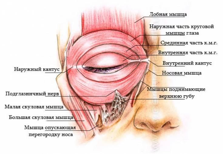 Мышцы глаза: функции, строение, как тренировать
