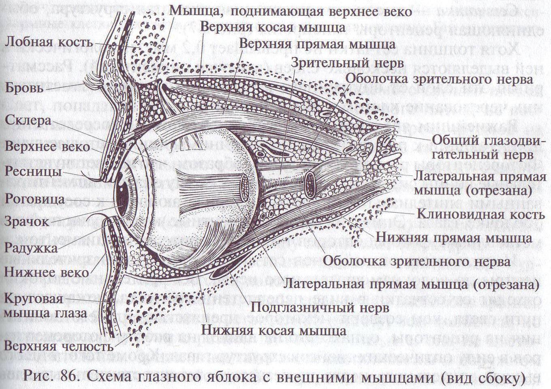 Мышца, поднимающая верхнее веко - название, строение