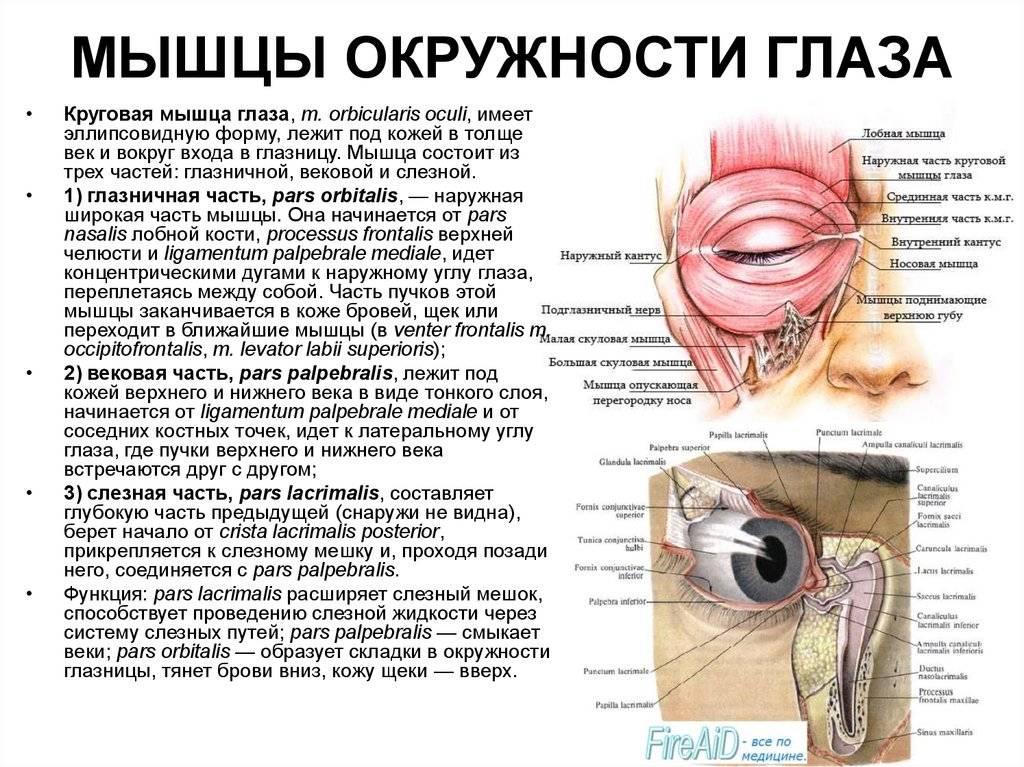 Мимические мышцы лица – особенности мимических мышц, движение лицевых мышц, функции
