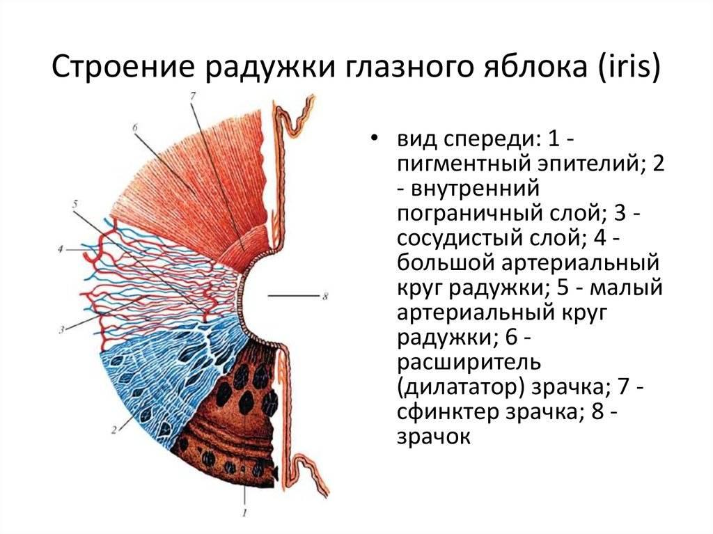 Зрачок — строение, функции, диагностика заболеваний