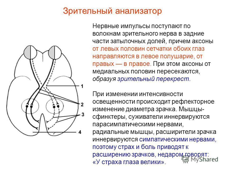 Глазодвигательный нерв: анатомия и возможные нарушения в его функционировании