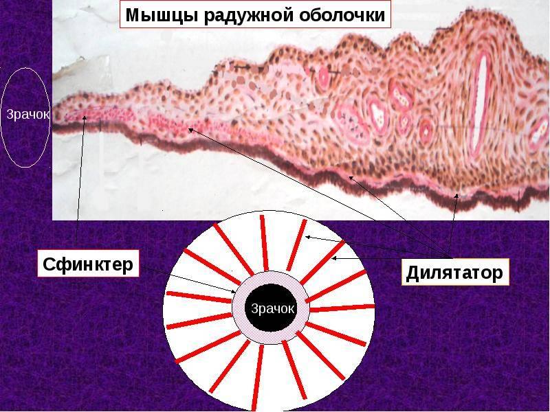 Диаметр зрачка: мышца, расширяющая зрачок, и мышца, его сужающая