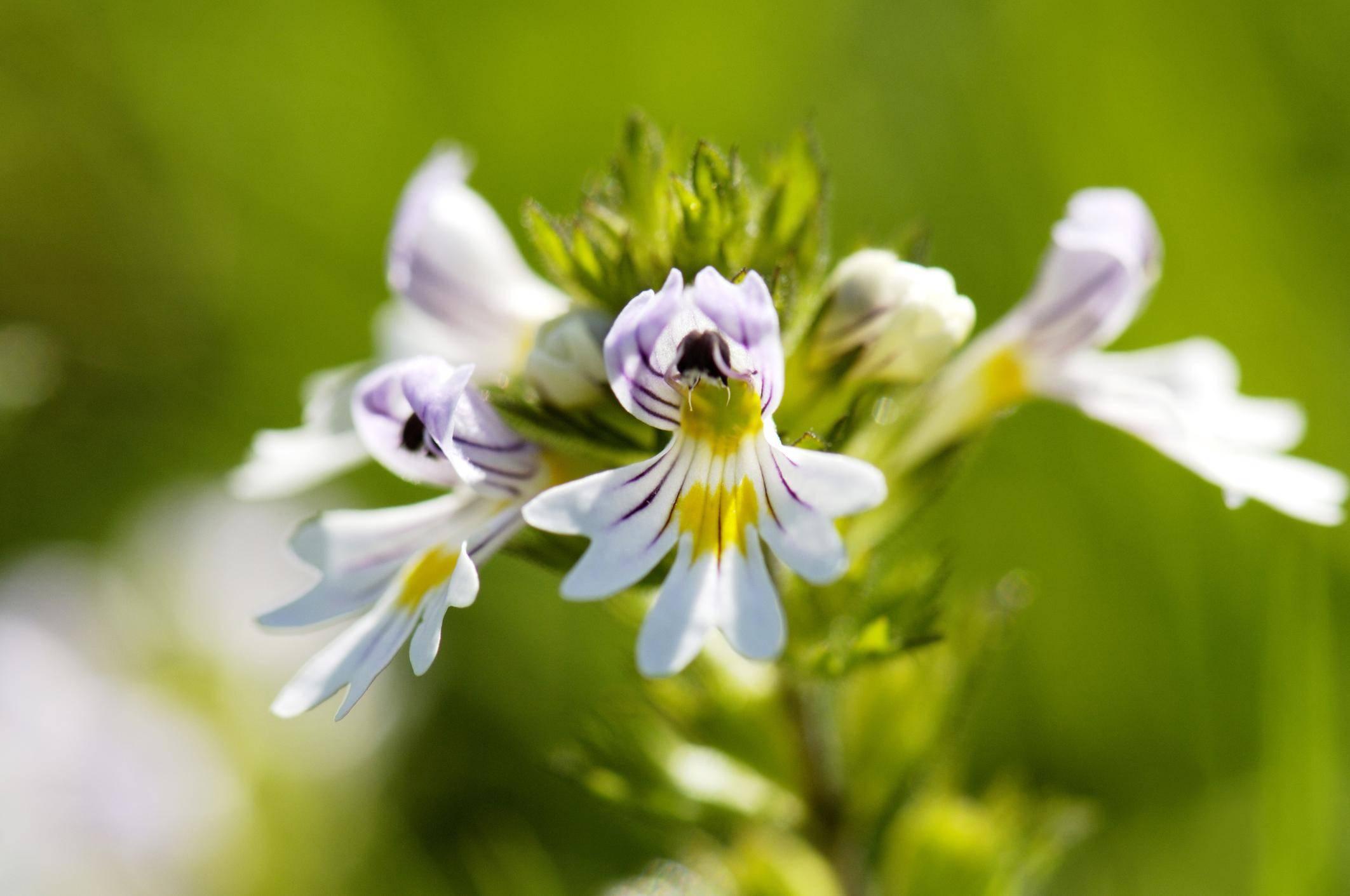 Лечебные травы для улучшения и восстановления зрения