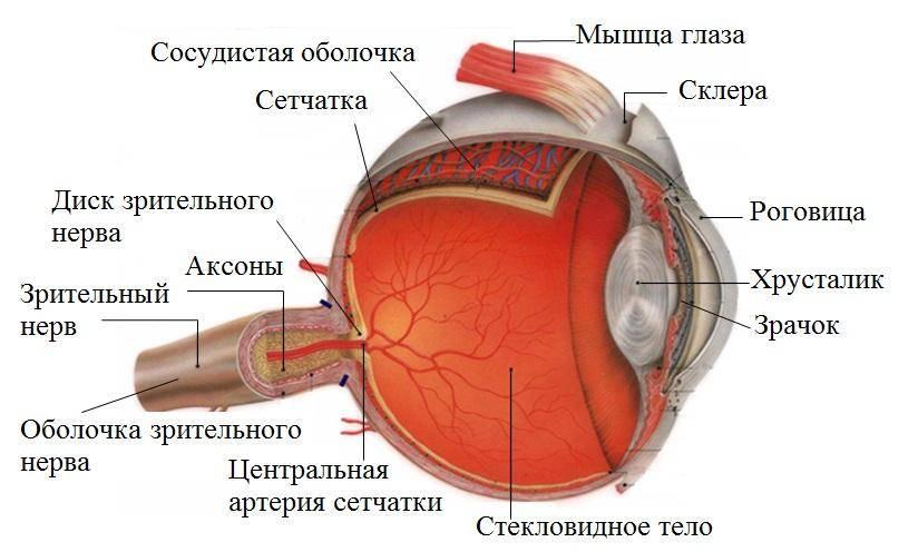 Сосуды и нервы глаза.