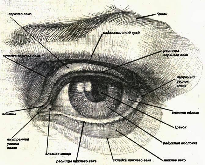 """Строение век: функции и патологии - """"здоровое око"""""""