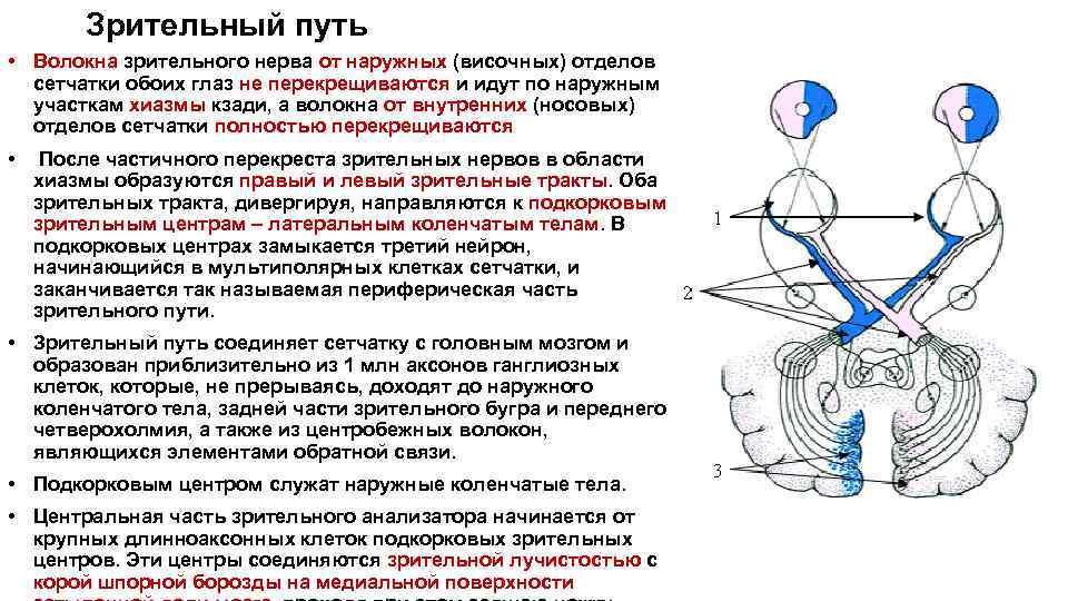 Зрительный нерв (глазной тракт или канал): характеристика
