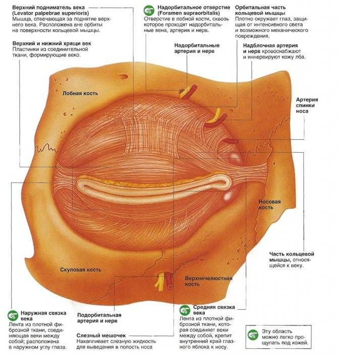 Строение век глаза: глазное яблоко, внешняя анатомия, конъюнктива и сосуды