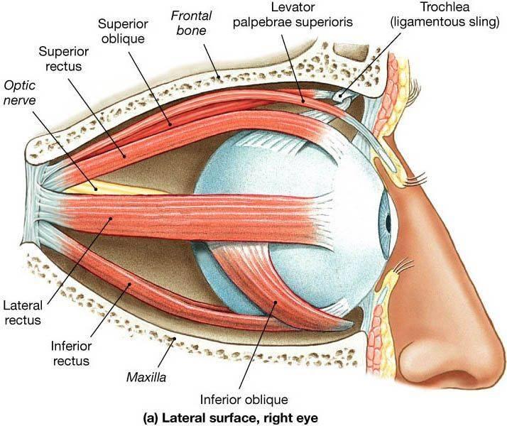 Мышцы глаза: строение, функции, симптомы и лечение