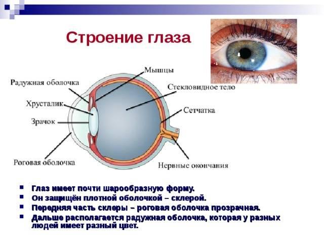 Какой структурой глаза образована радужка, ее особенности, функции, роль в процессе зрения