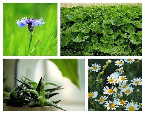 Растения при эписклерите